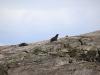 Seebär am Doubtful Sound