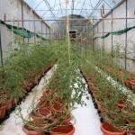 Tomatenplantage