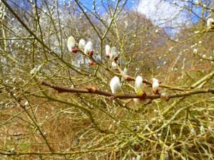 Frühlingspalmkätzchen